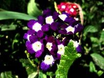Biały błękitny kwiat Fotografia Royalty Free