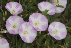 Biały błękitny kwiat Obraz Stock