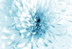 Biały - błękitny kwiatu zbliżenie obrazy royalty free