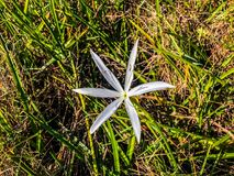 biały bagno lelui kwiat fotografia royalty free
