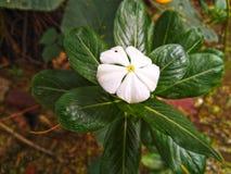 Biały barwinka fower z zielonym liściem Zdjęcie Stock