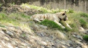 Biały Bengalia tygrys cieszy się słonecznego dzień w Chatver zoo Chandigarh Pundżab obrazy royalty free