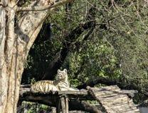 Biały Bengalia tygrys relaksuje na drewnianym szafocie w Chatver zoo Chandigarh Pundżab fotografia stock