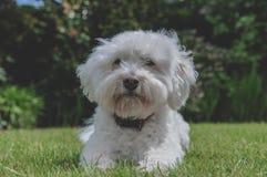 Biały Bichon Frise krzyż W Pogodnym ogródzie zdjęcia stock