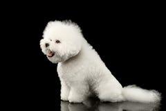 Biały Bichon Frise psa obsiadanie Zaskakiwał rozpieczętowanego usta, odosobniony czerń Zdjęcia Stock