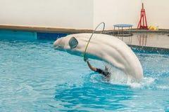 Biały bieługa wieloryb Fotografia Royalty Free