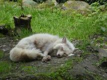 Biały biegunowy lis w zoo fotografia royalty free