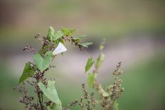 Biały bindweed kwiat wśród traw w polu Zdjęcia Stock
