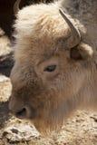 Biały bizon zdjęcie stock