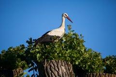 Biały bocian (Ciconia ciconia) Zdjęcie Royalty Free