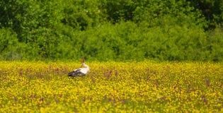 Biały bocian przy kwiat łąką Obrazy Royalty Free