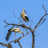 Biały bocian w Kruger parku narodowym, Południowa Afryka Obrazy Royalty Free