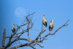 Biały bocian w Kruger parku narodowym, Południowa Afryka Fotografia Royalty Free