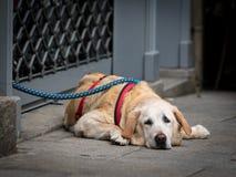 Biały brązu pies odpoczywa na ziemi fotografia stock