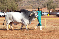 Biały brahmanu byka prowadzenie treser fotografią zdjęcie royalty free