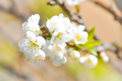 Biały brzoskwini okwitnięcia kwiat, śliwkowy kwiat Zdjęcia Royalty Free
