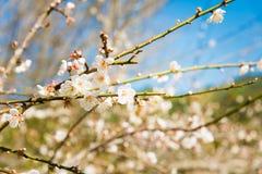 biały brzoskwini okwitnięcia kwiat, śliwkowy kwiat Zdjęcie Stock