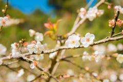 biały brzoskwini okwitnięcia kwiat, śliwkowy kwiat Obrazy Stock