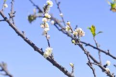 Biały brzoskwini okwitnięcia kwiat, śliwkowy kwiat lub brzoskwini drzewo, Fotografia Stock