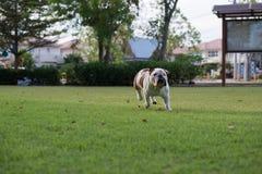 Biały buldog biegający na trawie Zdjęcie Royalty Free