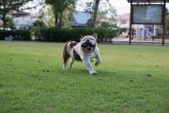 Biały buldog biegający na trawie Obrazy Royalty Free