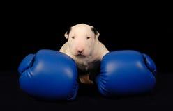 Biały Bull Terrier szczeniak w bokserskich rękawiczkach nad czernią obraz royalty free