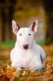 Biały byka teriera psa jesień portret Fotografia Stock