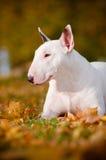Biały byka teriera psa jesień portret Zdjęcia Royalty Free