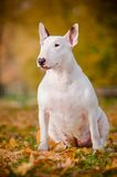 Biały byka teriera psa jesień portret Obrazy Stock