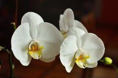 Biały caladenia zdjęcia stock