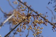Biały cedrowy drzewo Zdjęcia Stock