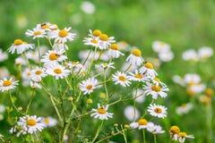 Biały chamomile kwitnął na łące na pogodnym lata day_ zdjęcie royalty free