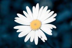 Biały chamomile na zmroku - błękitny tło Zdjęcie Royalty Free