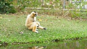 Biały Cheeked Gibbon siedzi na łące rzeką lub stawem przy Khao Kheow zoo Tajlandia zbiory