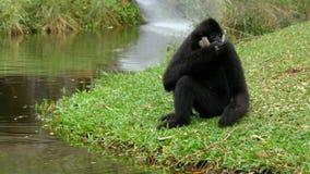 Biały Cheeked Gibbon siedzi na łące rzeką lub stawem przy Khao Kheow zoo Tajlandia zdjęcie wideo