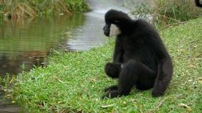 Biały Cheeked Gibbon siedzi na łące rzeką lub stawem przy Khao Kheow zoo Tajlandia swobodny ruch zbiory wideo