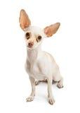 Biały chihuahua pies Z łez plamami Obraz Royalty Free