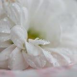 Biały chryzantema kwiat z rosa kroplami zdjęcia royalty free