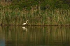 Biały cień i egret Fotografia Royalty Free