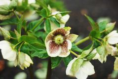 Biały ciemiernik w kwiacie Ogrodowa roślina w parku blisko kwiat w bieli Wiosna czas… wzrastał liście, naturalny tło Obrazy Stock