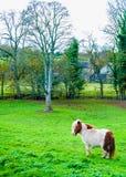 Biały cisawy konika koń w zielonej trawy polu Zdjęcia Royalty Free