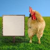 Biały cockerel patrzeje białego billboard miękka ostrość - kwadratowy skład - Obrazy Royalty Free