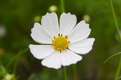 Biały Cosmee kwiat na zielonym ogrodowym tle obrazy royalty free
