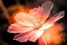 Biały cosmo kwiat w kolorze i ten ciężkim świetle zdjęcia stock