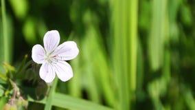 Biały cranesbill kwiat zbiory wideo