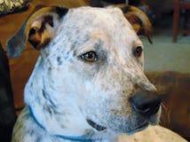 Biały czarny i brown błękitny heeler mieszający trakenu pies obrazy stock