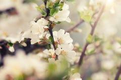 Biały czereśniowego okwitnięcia kwiat w wiosny plamy tle Obrazy Royalty Free