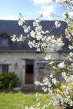 Biały czereśniowy drzewo, jabłoń w Loire dolinie, France z górską chatą w tle Fotografia Stock