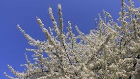 Biały Czereśniowy kwitnienie W wiosna czasie obraz royalty free