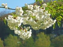 Biały czereśniowy okwitnięcie na gałąź z zieloną wiosną opuszcza w jaskrawym świetle słonecznym obraz royalty free